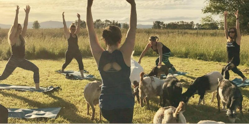 Goat Yoga at the YMCA