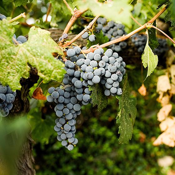 Guglielmo Winery Harvest Sep-2018